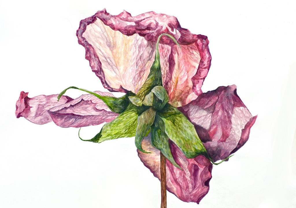 Dry Rose by Kyla-Nichole