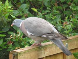 Wood Pigeon by Oddity-1991