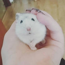 Yuki the hamster  by Mioponnu