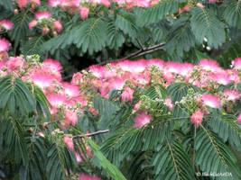 Pink siris  by BlackCatArtDA