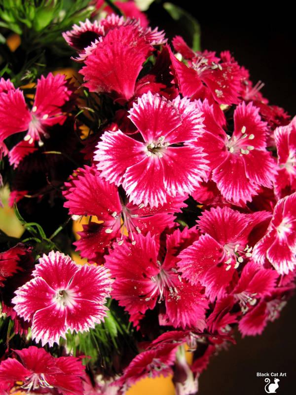 Pink-white Dianthus barbatus  by BlackCatArtDA