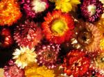 Everlasting Strawflowers  by BlackCatArtDA