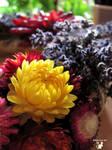Golden Strawflower  by BlackCatArtDA