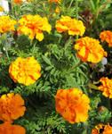 Golden marigold  by BlackCatArtDA