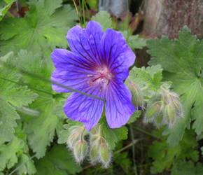 Blue Bloom by Zelandeth