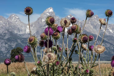 Thistles by Mac-Wiz