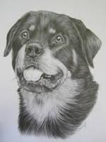Rottweiler by xx-ashley