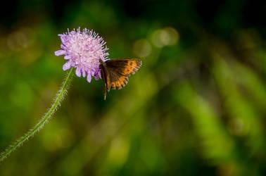 Butterfly on flower by noiser84