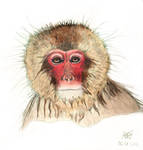 Japanese macaque by grini