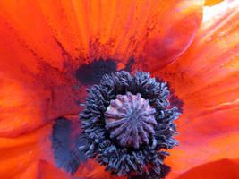 Big Red Poppy by Techdrakonic