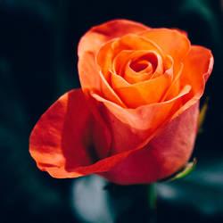 rose 61 by EphemeralMind