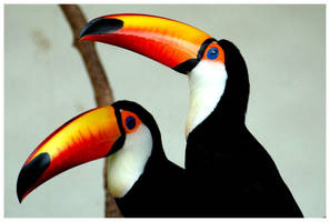 Toucans by tuky