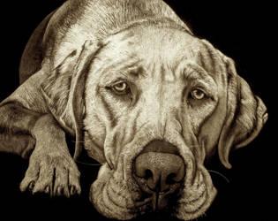 Labrador portrait by JacopoPfrang