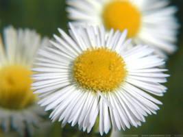 Petals of White by aardvarko