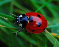 Ladybird by aimforthefloor