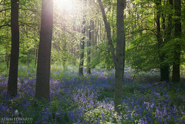 Bluebell Glade by Meowgli