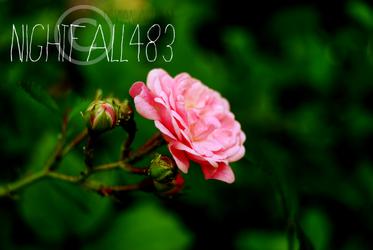 Pink Rose ~ by Nightfall483