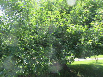 Wolf River Apple Tree by discoveringrealtruth