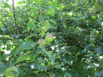 Wolf River Apples by discoveringrealtruth