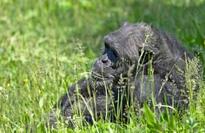 Chimpanzee relaxing by ExaVolt