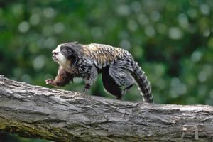 White-headed marmoset by ExaVolt