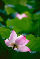 Lotus by 2000lightyearsaway
