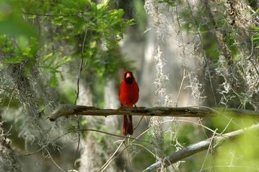 Cardinal by GGamero