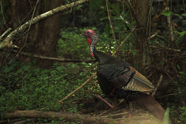My first Turkey by GGamero