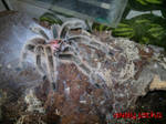 Grammostola North Northern Gold Tarantula Spider by AndyJacko