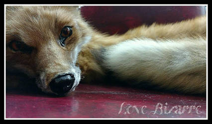 Red Fox Soft Mount Taxidermy FOR SALE by LoveBizarreOddities