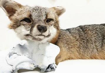 Gray Fox Soft Mount Taxidermy by LoveBizarreOddities