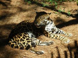 Brevard Zoo - Jaguar by KSchnee
