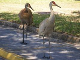 Sandhill Cranes by KSchnee