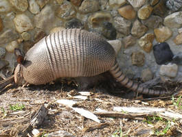 Armadillo by KSchnee