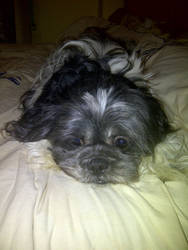 Our Shih Tzu Frodo by PerfectMomma