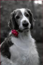 Rose For You by naskali