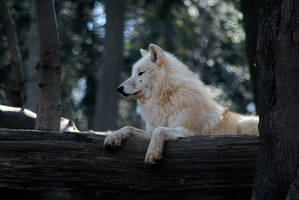 Wolf II by Jiluo