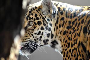 Jaguar VI by Jiluo