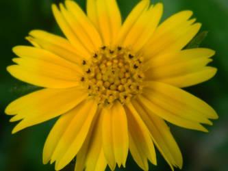 Yellow Flower by SimOtakuGirl