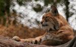 Serious Bobcat by Jack-Random