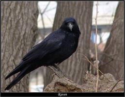 Raven by woolfier