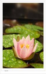 Little Lotus by woolfier