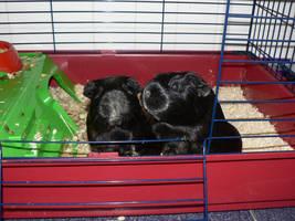 Guinea pigs by aquawolf1432