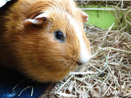 Guinea Pig by heavenly-roads