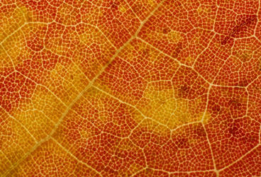 Texture 005 - Fall Leaf by endprocess83