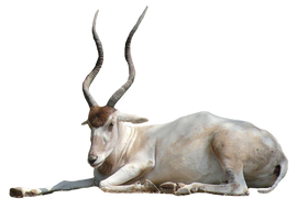 Addax-Antelope-PNG by chaseandlinda