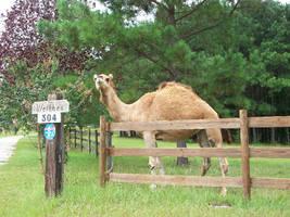 Walk a Mile for a Camel by DigitalVampire107