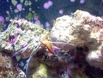 Oregon Coast Aquarium - Shrimp 2 by SeverFlameSkullRage