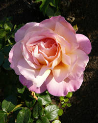 Pink Rose Flower Stock Photo by Enchantedgal-Stock