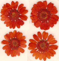 Orange Daisy Flower Blossoms by Enchantedgal-Stock